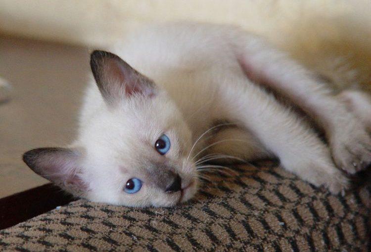 15 Фото сиамских котят — легендарных кошечек